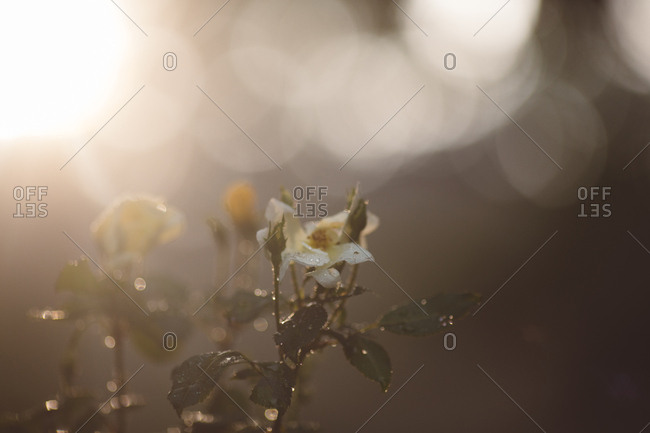 Close up of blooming flowers sparkling with rain drops