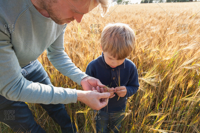 Father and son in wheat field examining wheat, Lohja, Finland