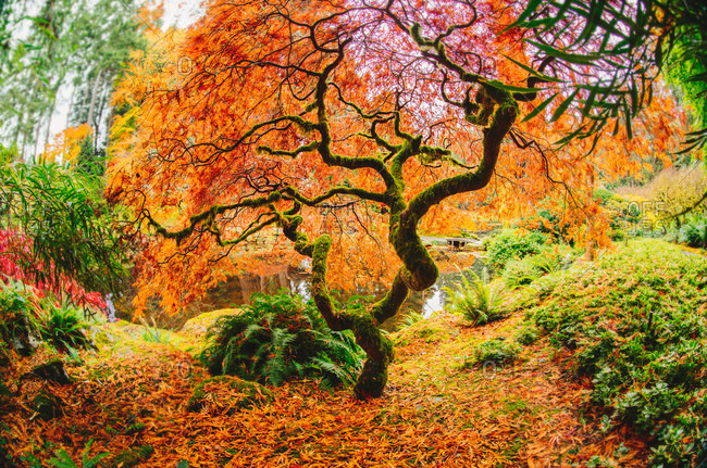 Autumn tree in forest, Bainbridge, Washington, United States