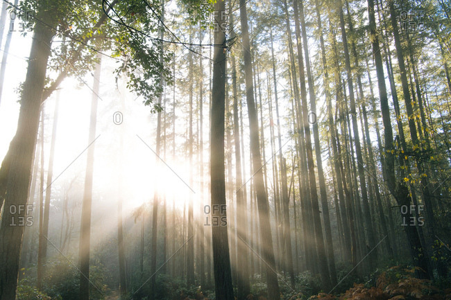 Sunlight through trees in forest, Bainbridge, Washington, United States