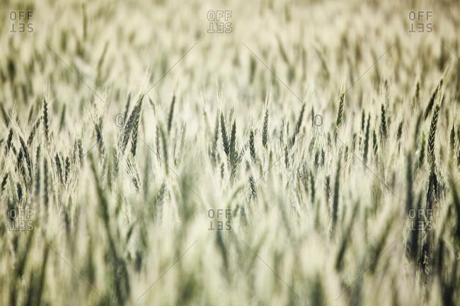Wheat field areas of eastern Washington, USA