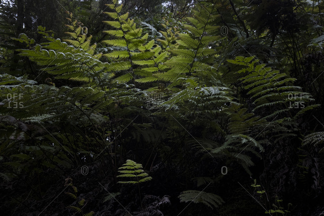 Ferns along Levada of Caldeirao Verde