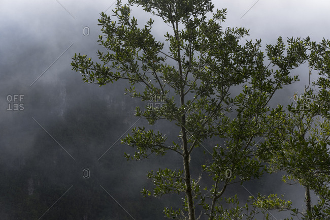 Laurissilva forest tree in front of foggy mountain