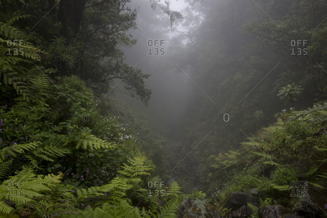Foggy view through clearing in the Laurissilva forest of Pinaculo and Folhadal