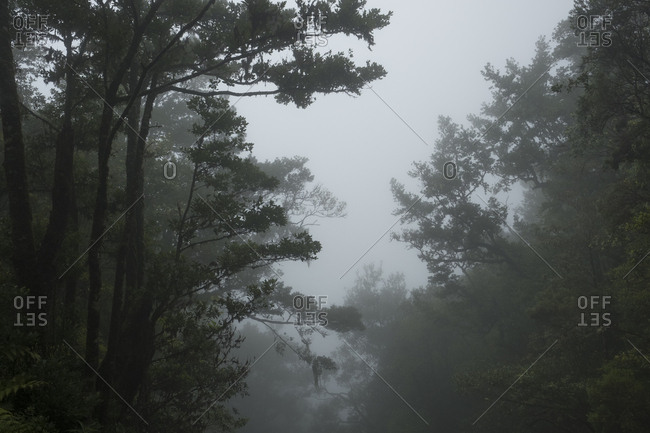 Thick fog between tree branches in Laurissilva forest