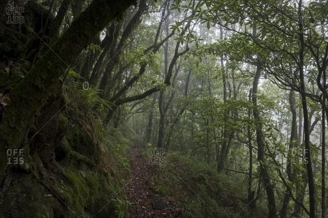 Leafy trail through dense Laurissilva rainforest