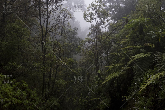 Foggy treetops in dark Laurissilva forest