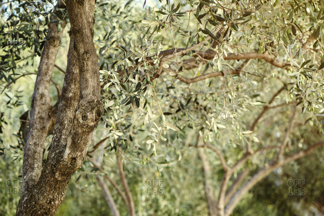 Olive trees in orchard