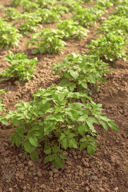 Potato plants in vegetable garden