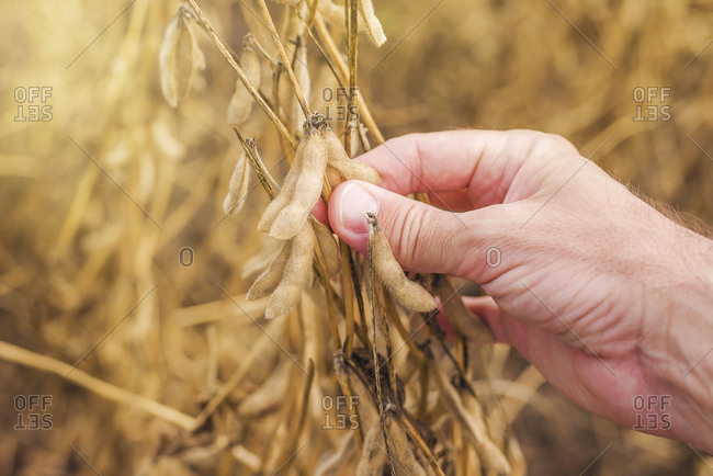 Farmer checking soy bean pods