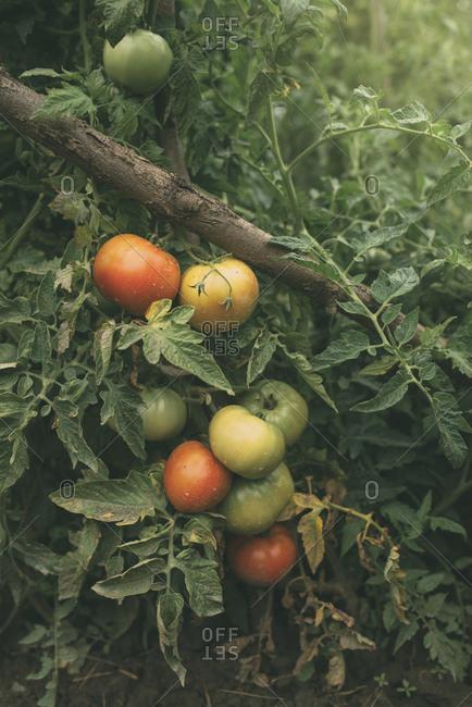 Tomatoes growing in vegetable garden