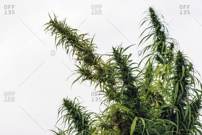 Cultivated hemp in field - Offset