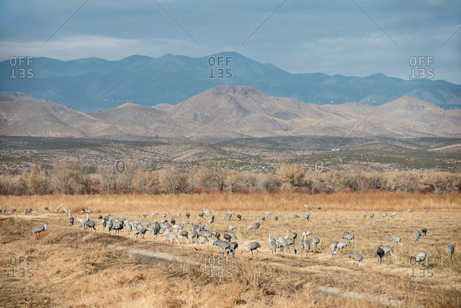 Sandhill Cranes feeding on corn field