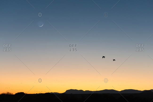 Two Sandhill Cranes in flight at twilight with crescent Moon