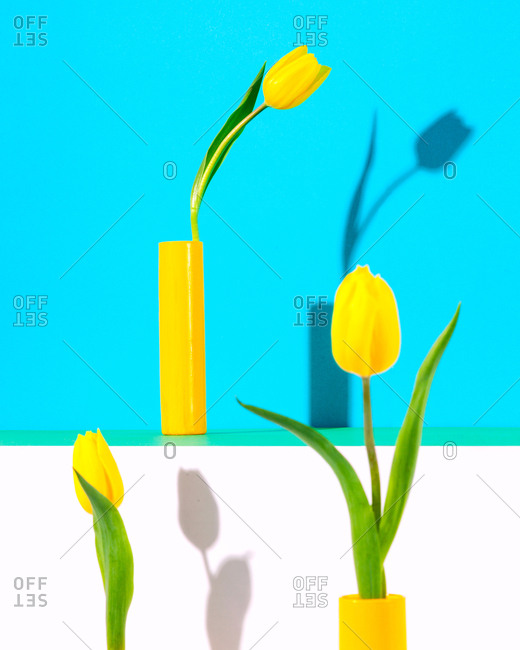 Still life of tulips casting shadows against bright colored background