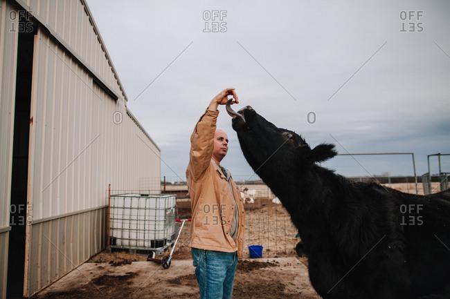 A man feeding a cow