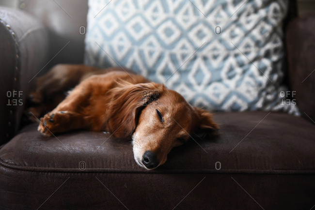 Dachshund takes a nap on brown chair with blue pillow in the background