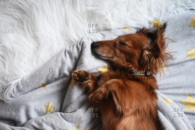 Dachshund napping on bed