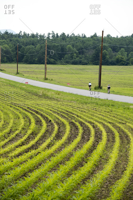 Bicyclists and corn fields in North Ferrisburgh, Vermont