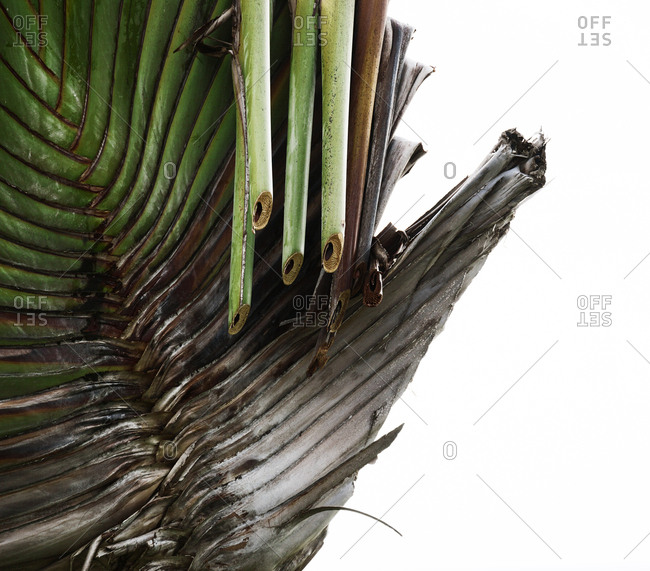 Close up of section of travelers palm tree