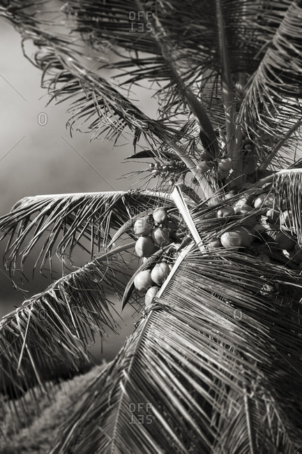 Black and white image of leaves and coconuts on palm tree