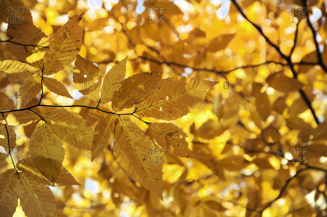 Yellow gold leaves and branches lit from behind by sunshine