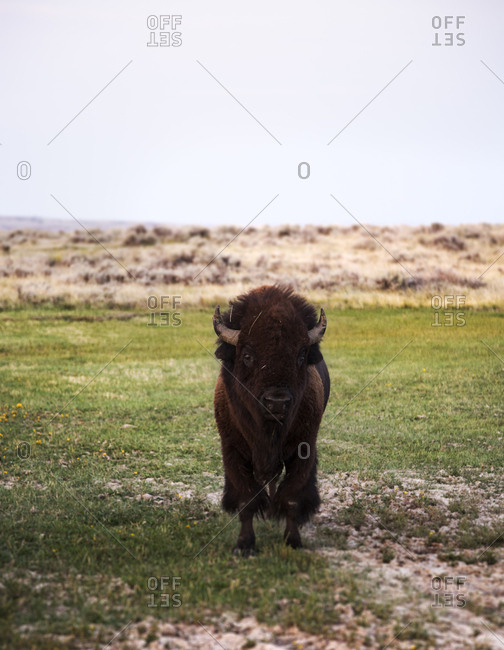 Front view of curious Bison (Bison Bison) looking directly at camera
