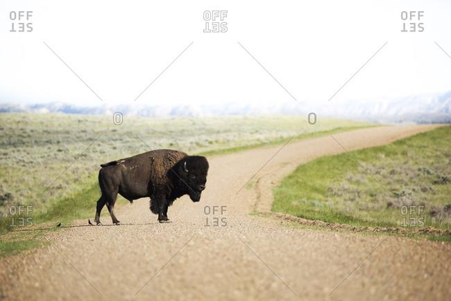 Bison (bison bison) crossing a dirt road in grasslands