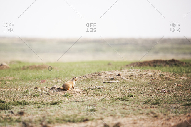 Prairie dog sniffing the air suspiciously outside its burrow