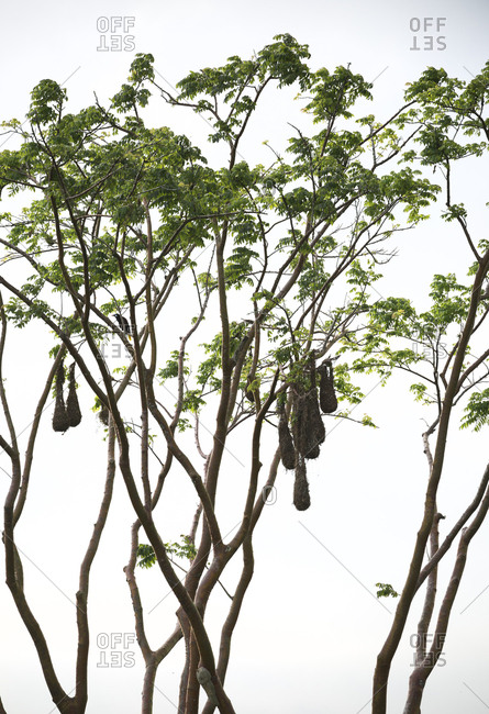 Woven nests of Montezuma oropendola hanging from tree branches in Arenal, Costa Rica