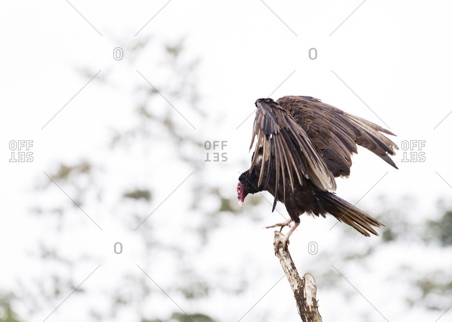 Turkey vulture spreading wings as it tries to balance on branch in Costa Rica