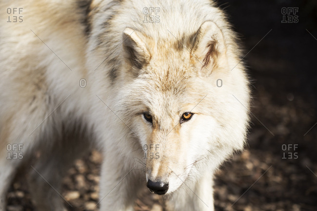 Portrait of Gray Wolf looking warily around its environment