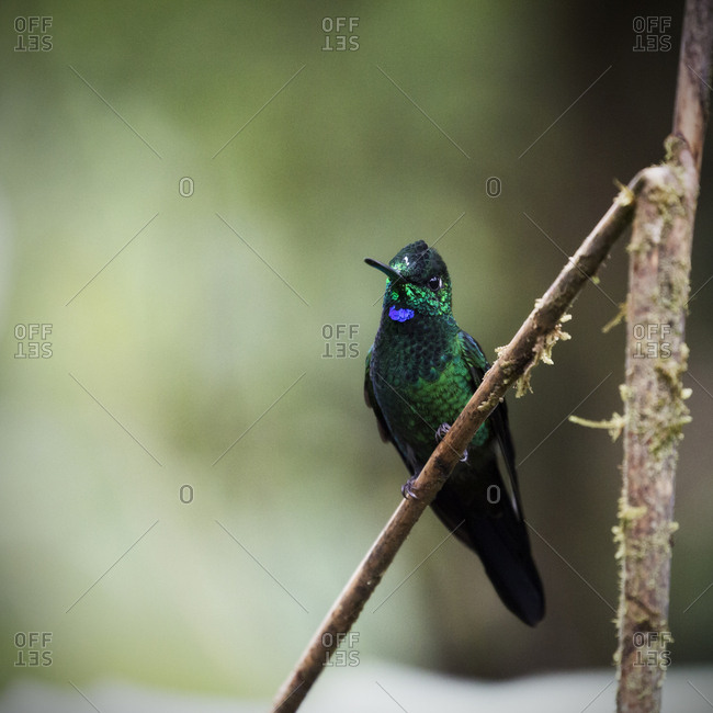 Green-crowned Brilliant Hummingbird perched on a branch in Costa Rica