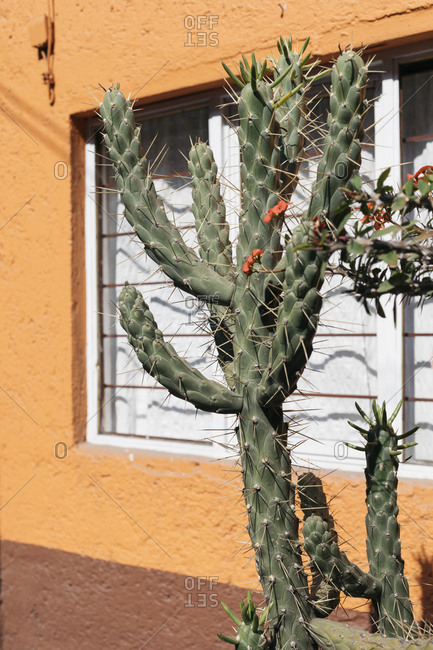 Sharp flowering cactus plant outside building window