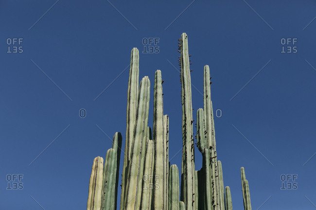 Low angle view of botanical garden towering cacti cluster against clear sky