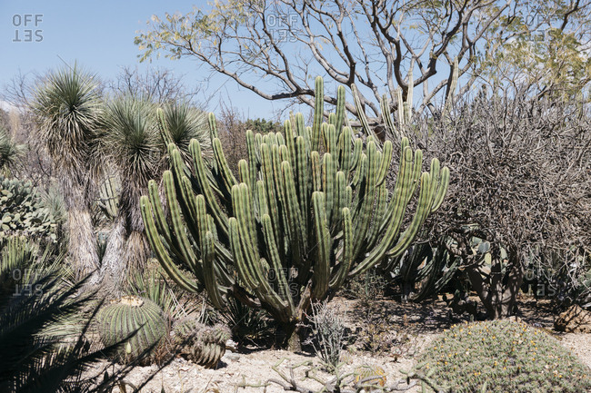 Wild looking dessert plants in Mexican botanical garden