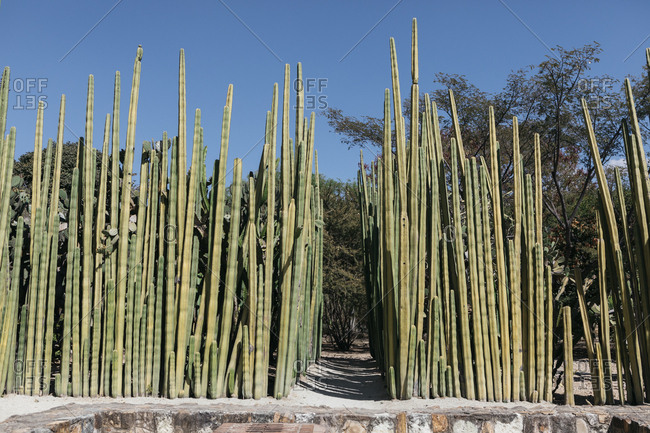 Narrow path between dense cacti garden
