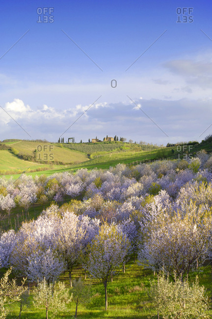 Almond trees in bloom near San Gimignano, Italy