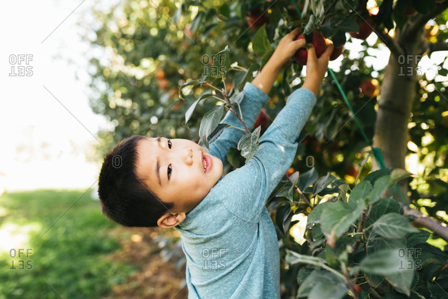 Young boy of Chinese ethnicity reaching up to pick apple from tree