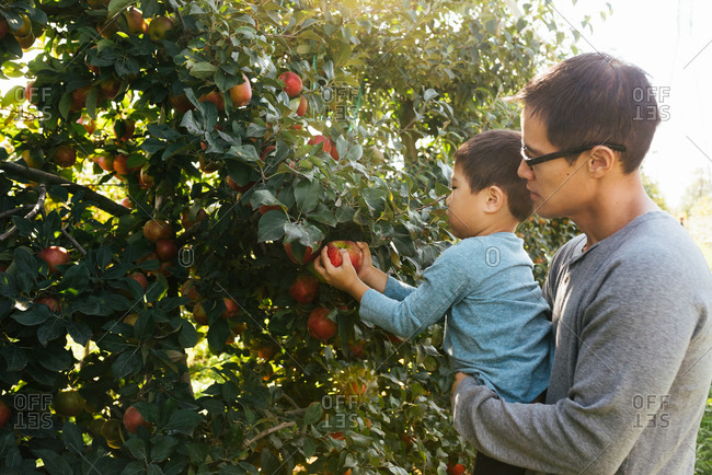 Dad lifting little son up to help him reach apple to pick from tree in orchard