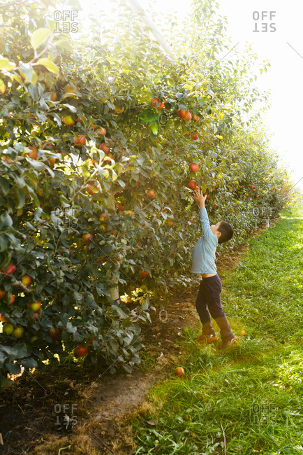 Little boy of Chinese ethnicity reaching high to pluck apple from tree in orchard