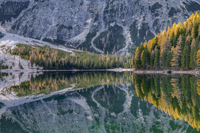 Reflected larches on the Braies lake, Dolomites, Pusteria Valley, Italy