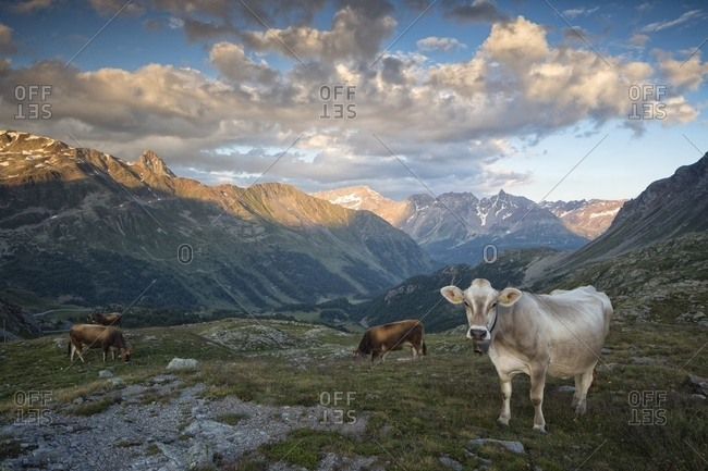 Grazing cows near Bernina Pass, in the background the Italian Alps and Swiss National Park, Pontresina, Engadin, Canton of Grisons, Switzerland