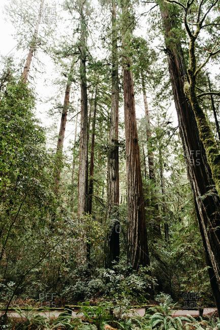 Grove of three redwoods