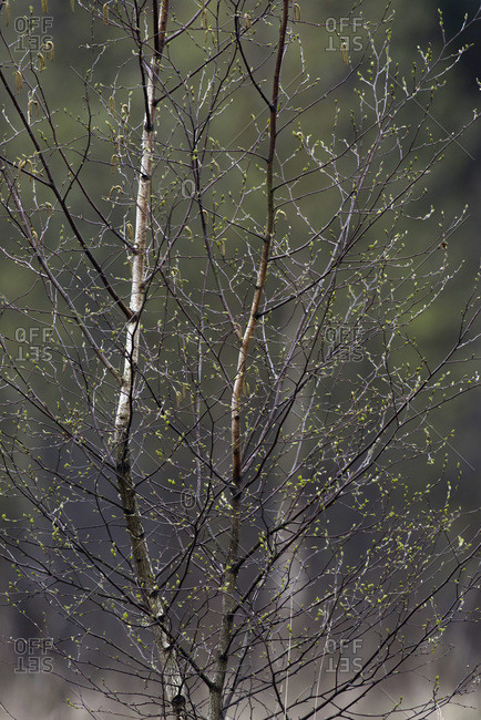Twigs and branches of birch tree with fresh spring leaves