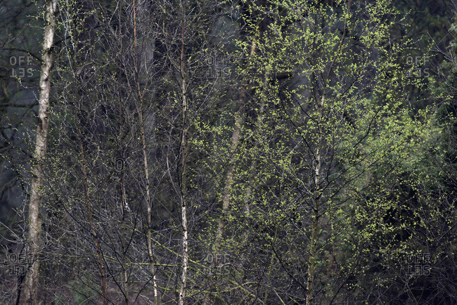Birch trees in forest with new leaves in spring