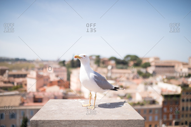 Seagull on a rooftop in Rome, Italy