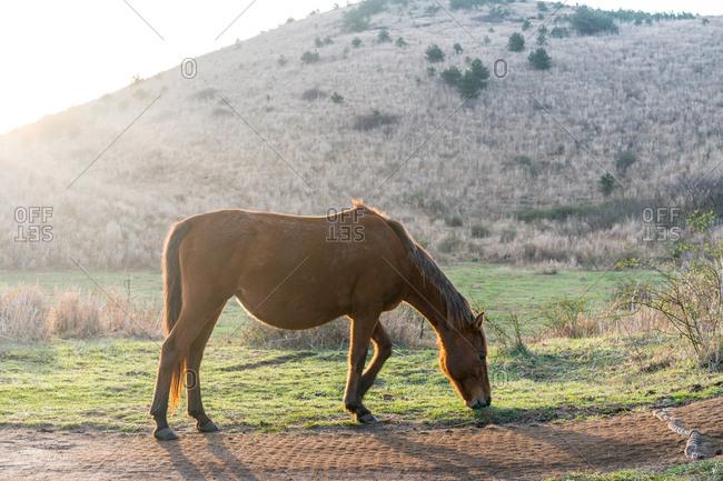 A horse grazes in morning light, Jejune Island