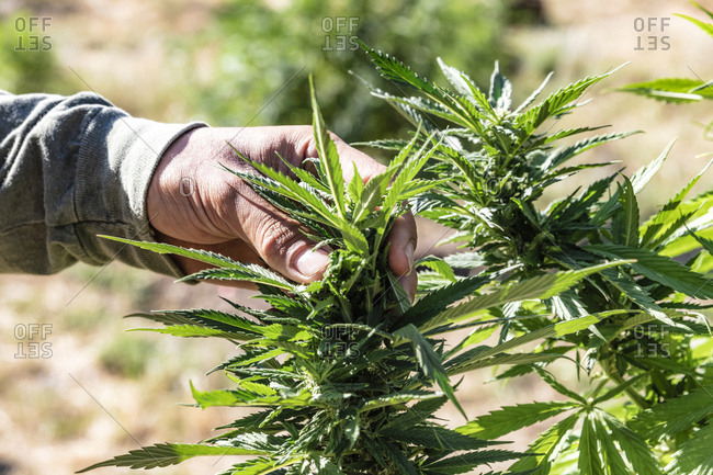 Close up of hand of cannabis farmer inspecting his plants at a farm in Northern California