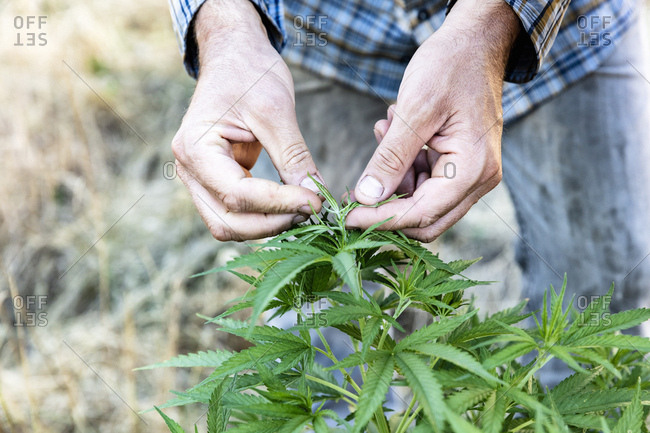 Hands of cannabis farmer inspecting his plants at a farm in Northern California